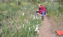krydsning af korn i marken