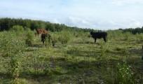 130313 kvæggræsningen fremmer udvikling af bundvegetation og hæmmer tilgroningen med birk