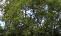 Billede - Effekten af askefrøplanter